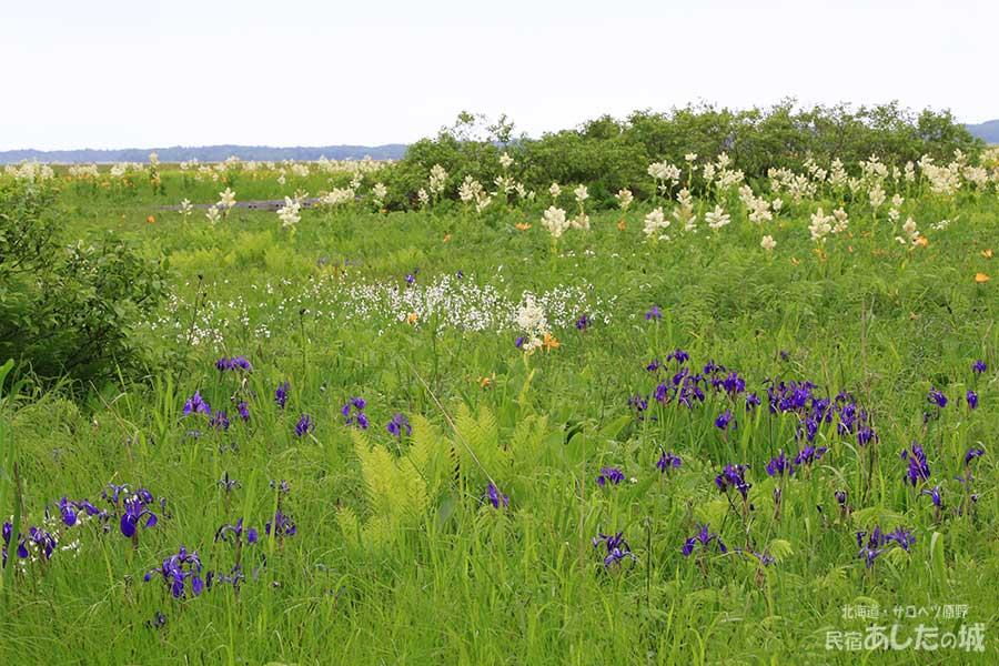 コバイケイソウ、カキツバタ、ワタスゲが咲くサロベツ湿原(2013年6月25日)