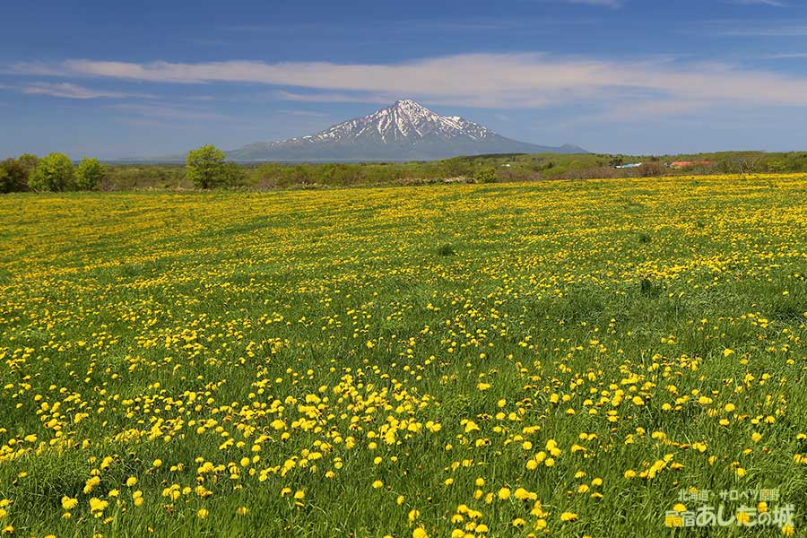牧草地に咲くタンポポ(2014年6月1日)