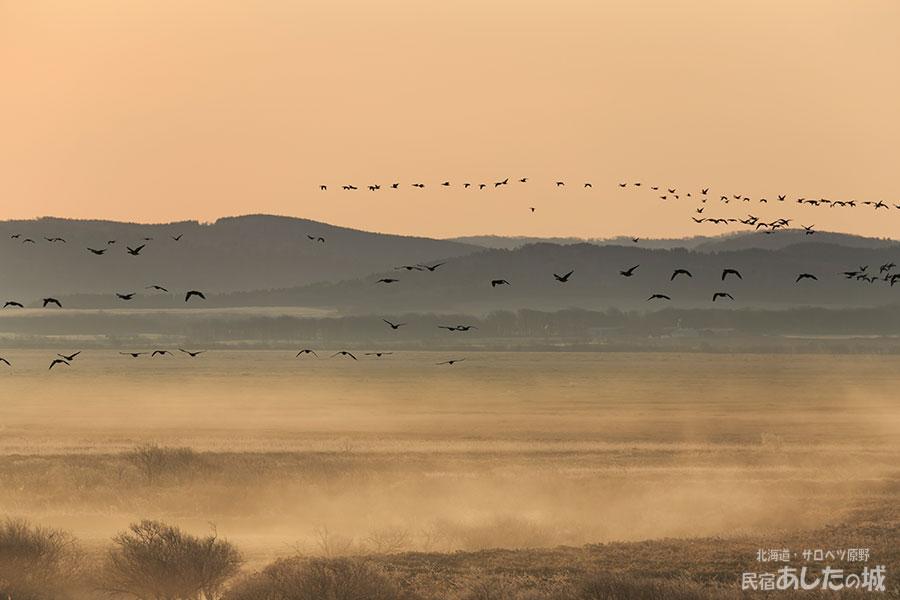 サロベツ原野を飛ぶマガンの群れ(2019年4月21日)