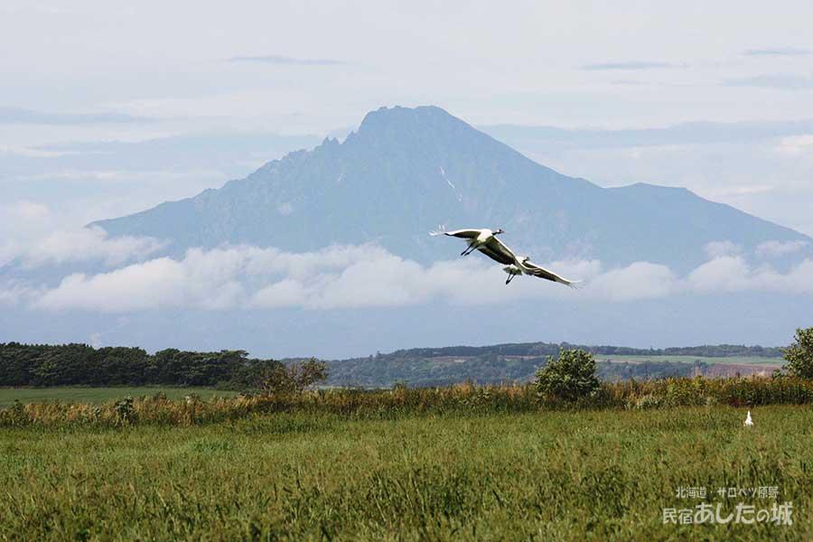 サロベツの丹頂鶴(2011年9月5日)