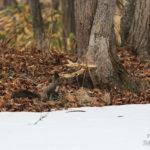 残雪とエゾリス