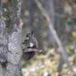クルミを拾っては木の上へ