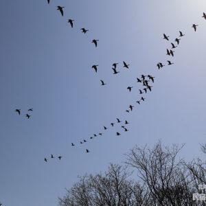 宿の上空を飛ぶ群れ