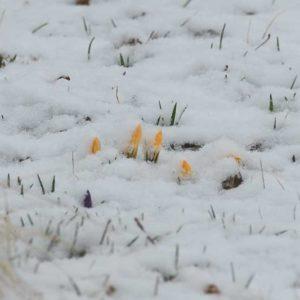 雪の中のクロッカス