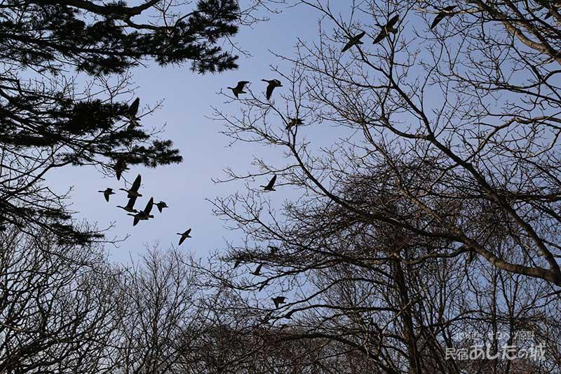 飛び越すマガンの群れ