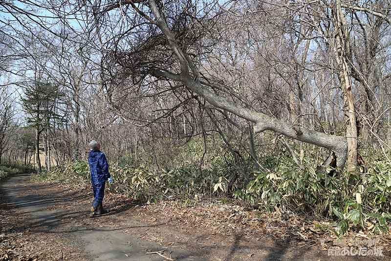 倒れかけの木