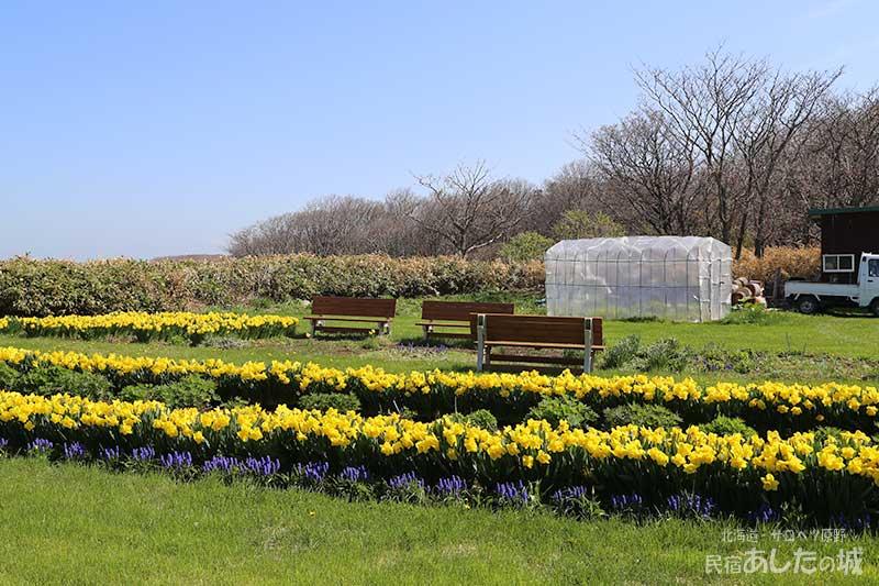 裏庭の水仙とムスカリ