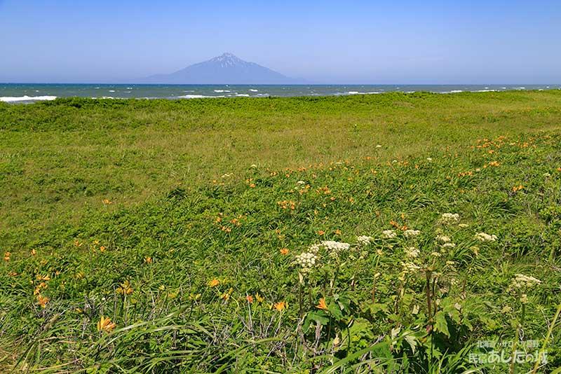 サロベツ西海岸のエゾカンゾウは三分咲き