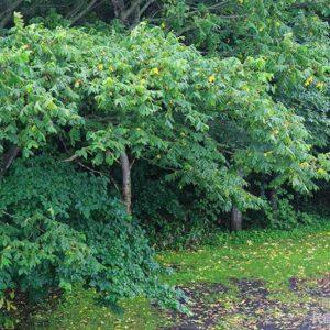 クルミの葉が少し色づいて
