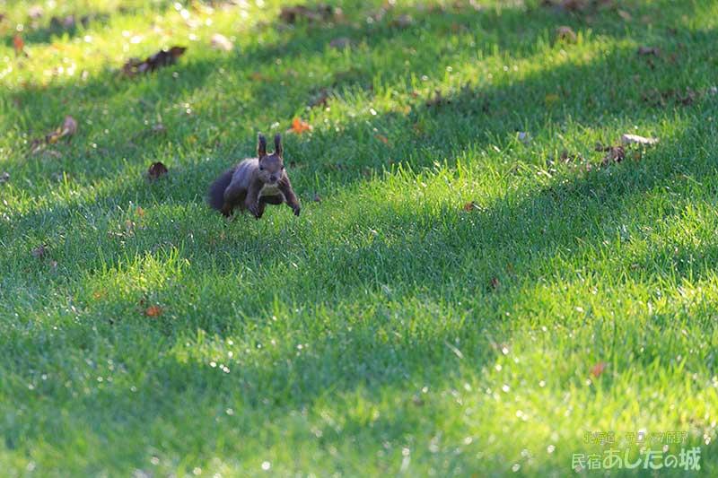 芝生の上を跳ねるエゾリス
