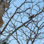 木の上を移動するエゾリス