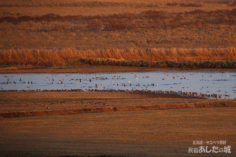 春水に来た水鳥たち