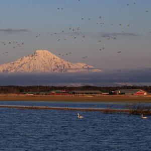 日の出の頃の白鳥と利尻