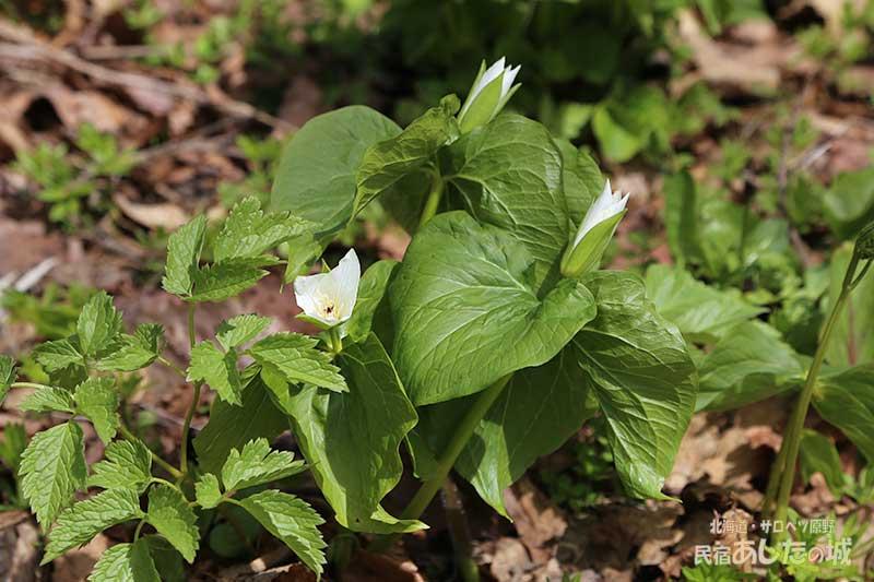 オオバナノエンレイソウの花